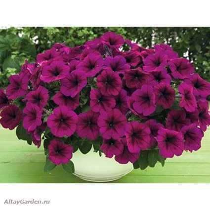 Petunia_F1_Trilogy_Deep_Purple.jpg