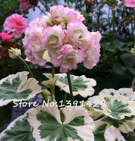 Герань с Китая. - 200-Pcs-Two-color-Univalve-Geranium-Seeds-Pelargonium-Peltatum-Westdale-Apple-Blossom-in-Gardens-Perennial-Flower.jpg