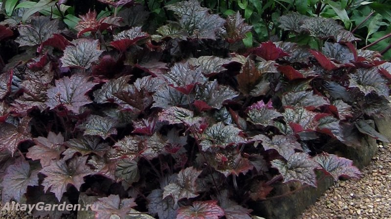 Гейхера. - Heuchera-Palace-Purple-2.jpg